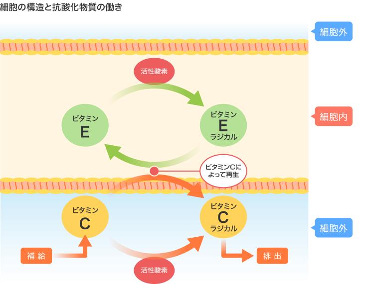 細胞の構造と抗酸化物質の働き